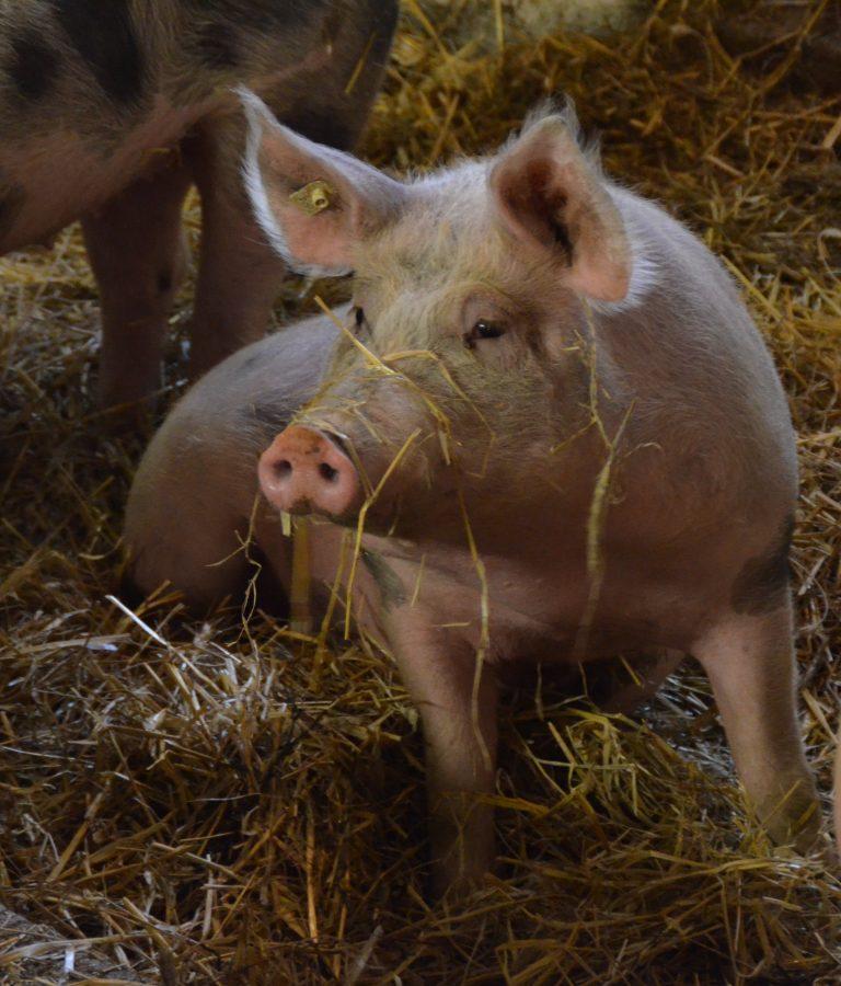 Unsere Schweine